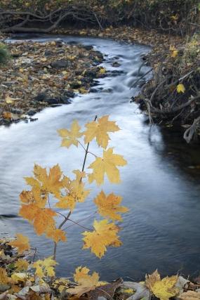 Klon nad potokiem