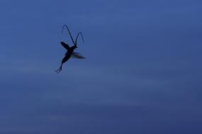Flight of capricorn beetle