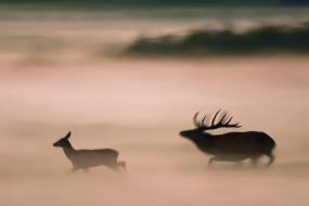 Rykowisko we mgle